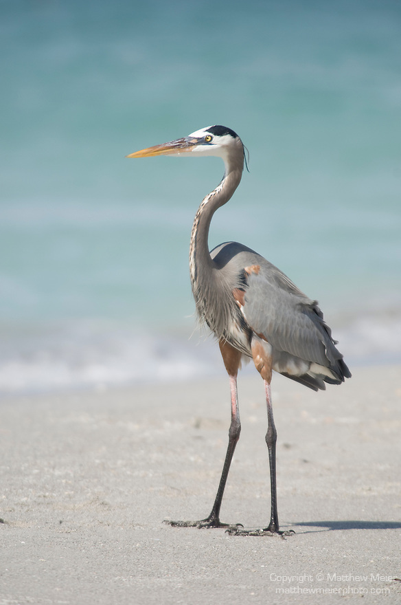 Captiva Island, Florida; a Great Blue Heron (Ardea herodias) bird standing on the shoreline of the Gulf of Mexico, foraging for food © Matthew Meier Photography, matthewmeierphoto.com All Rights Reserved