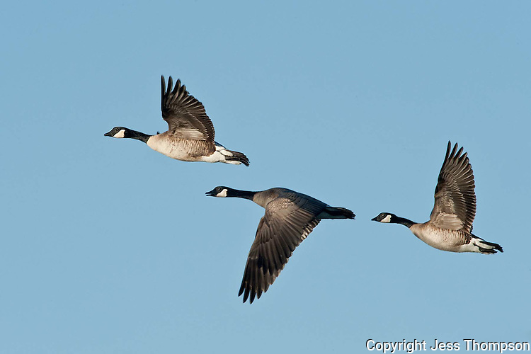 Canada Geese in flight, Brownfield, Texas