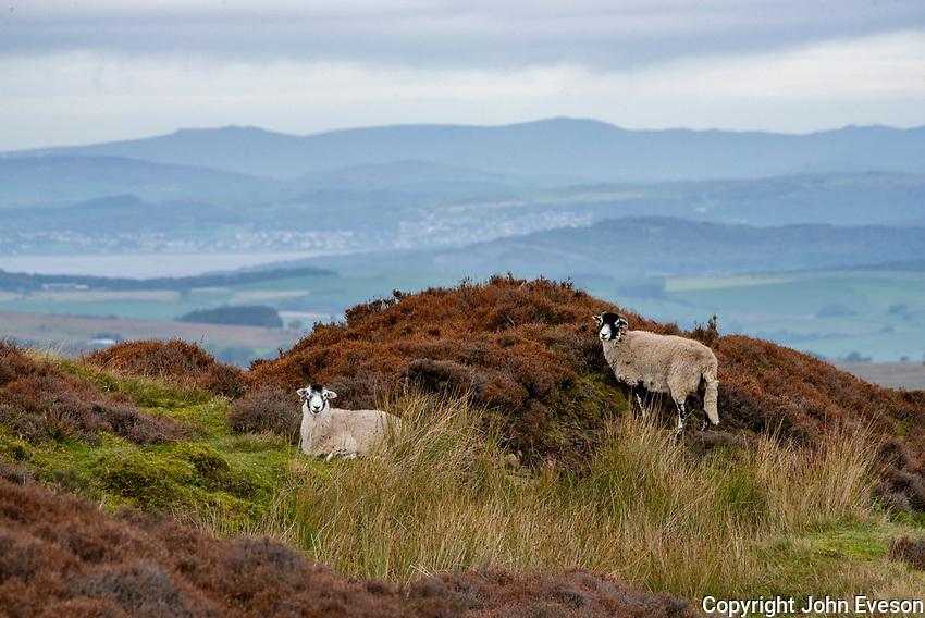 Swaledale ewes in heather near Botton Head, Lancaster, Lancashire.