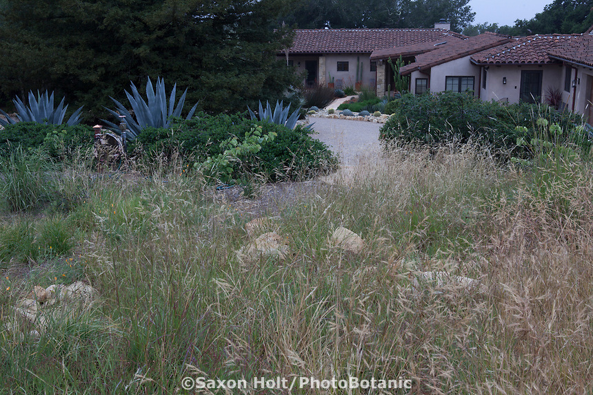 Raw file - Nassella pulchra, purple Needle grass, nativ egarsse meadow lawn substitute in summer-dry garden Santa Barbara California
