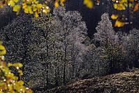 Europe/France/Limousin/19/Corrèze/Plateau de Millevaches/Env Meymac: Forêt