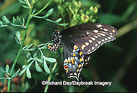 03009-010.05 Black Swallowtail (Papilio polyxenes) female laying eggs on Rue (Ruta graveolens) Marion Co. IL