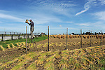 A Japanese farmer sticks a wooden pole in his rice field to hang and dry ears of rice in a traditional way under the sun near Hirosaki, Aomori, Japan.<br />