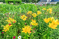 France, Loir-et-Cher (41), Cheverny, château de Cheverny, le jardin bouquetier, lis jaunes et knautie de Macédoine
