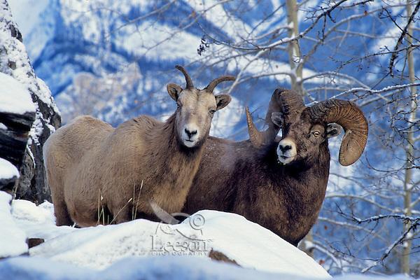 Rocky Mountain Bighorn Sheep Ewe & Ram.  Canadian Rockies.  Winter.