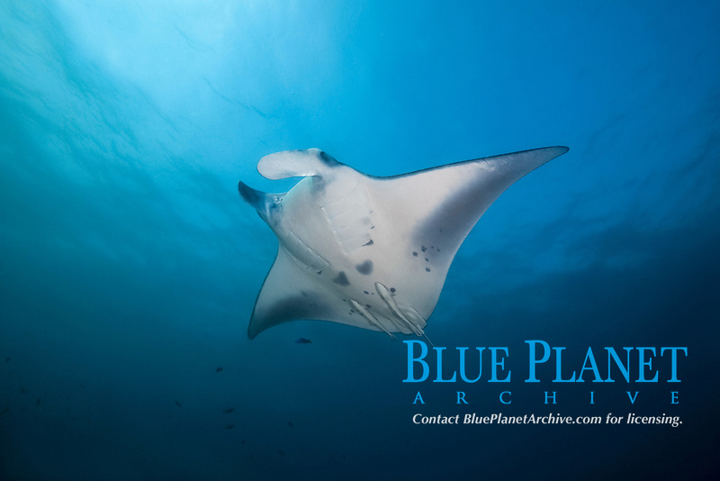 Reef Manta Ray (Mobula alfredi, Manta alfredi) swims in the blue water, Indo-Pacific Ocean, Maldives, Asia
