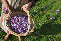 Europe/France/Midi-Pyrénées/46/Lot/Gaillac:Ramassage du Safran du Quercy à la safranière de la ferme de Didier Doucet par sa mère Raymonde  //  France, Lot, Gaillac, Didier Doucet's Farm, saffron plantation, Quercy Saffron, harvesting of Crocus sativus flowers where saffron is extracted <br />  [Non destiné à un usage publicitaire - Not intended for an advertising use]