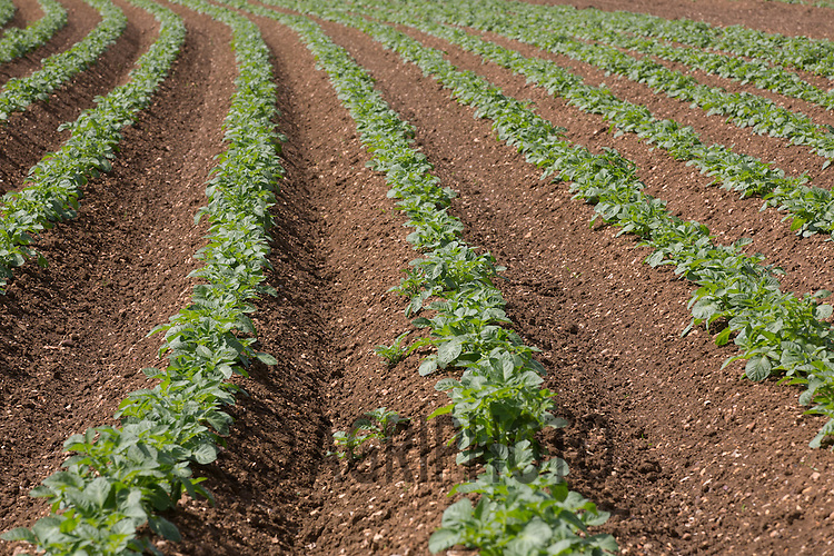 Young Potato Plants Emerging <br /> Picture Tim Scrivener 07850 303986<br /> tim@agriphoto.com<br /> ?.covering agriculture in the UK?.