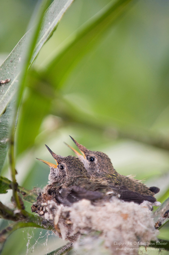 La Jolla, California;  two , two week old, Anna's Hummingbird (Calypte anna) chicks, sitting in their nest, waiting to be fed