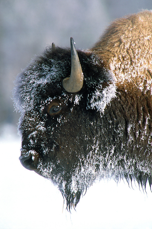 Portrait of a bison covered with snow and hoarfrost in Yellowstone National Park, Wyoming.
