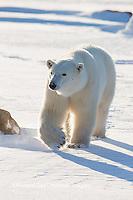 01874-13817 Polar Bear (Ursus maritimus) in Churchill Wildlife Management Area, Churchill, MB Canada