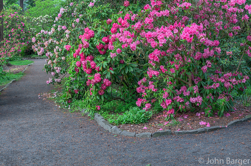 ORPTC_D208 - USA, Oregon, Portland, Crystal Springs Rhododendron Garden, Light red blossoms of rhododendrons in bloom along pathway.