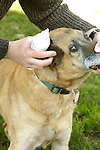 Dog receiving ear drops for mite infection.