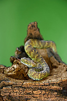 489040009 a captive broadleys bush viper atheris broadleyi sits coiled on a tree limb species is native to africa