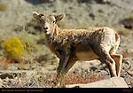 Bighorn Sheep, Lamb, Gardner Canyon, North Entrance, Yellowstone National Park, Wyoming