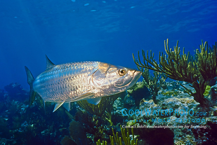 Atlantic tarpon, Megalops atlanticus, swimming over coral reef, grows up to 2 m (6.6 ft) in length and could weigh as much as 160 kg (350 lb), Looe key, Florida Keys National Marine Sanctuary, Florida, USA, Caribbean Sea, Atlantic Ocean