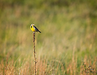 This beautiful bird, a Western Meadowlark (Sturnella neglecta), stopped us with its beautiful calls.  Looked around for a few seconds before realizing the bird was perched a few yards in front of our vehicle, right on the side of the road.  Custer State Park, The Black Hills, South Dakota.