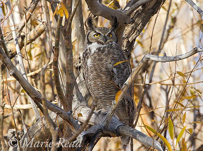 Great Horned Owl (Bubo virginianus), adult, Mono Lake Basin, California, USA