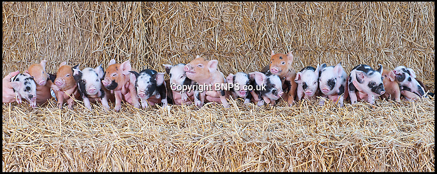 BNPS.co.uk (01202) 558833<br /> Picture: LauraJones/BNPS<br /> <br /> The litter of 16 kunekune piglets. <br /> <br /> Daisy the hardy sow is taking a well earned rest after giving birth to an incredible 27 piglets the space of nine months.<br /> <br /> The Kunekune pig previously produced a litter of 11 babies at a children's activity farm when Charlie the randy boar escaped from his pen at night and snuck into her enclosure.<br /> <br /> Four months on from that amorous evening and Daisy has given birth to a whopping 16 more piglets at the Farmer Palmer's Farm Park near Wareham, Dorset.