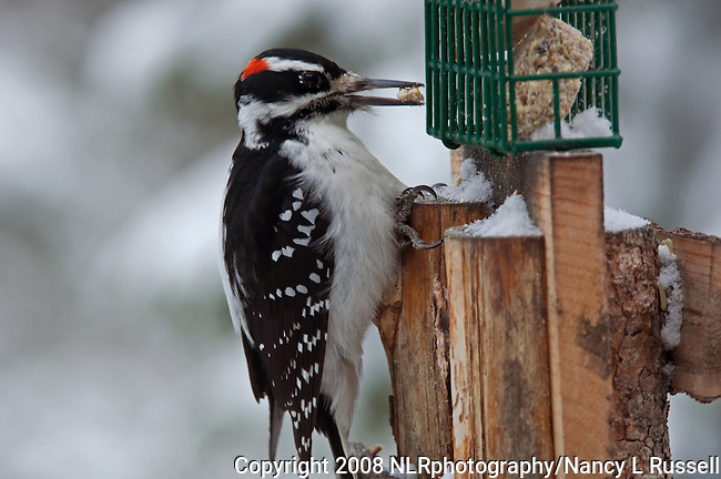 Male Hairy Woodpecker eating at a backyard feeder in the winter