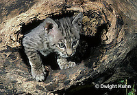 MA26-001z  Bobcat - young - Felis rufus