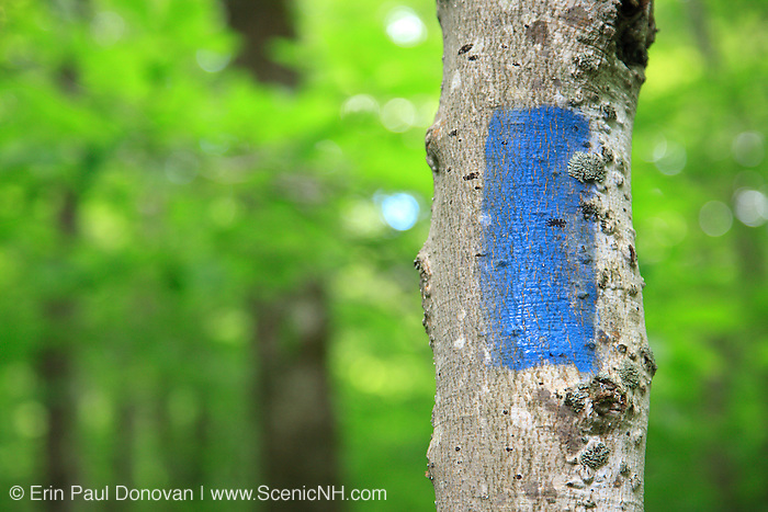 Blue blaze painted on hardwood tree along the Saco River Trail during the summer months in Crawford Notch State Park of the White Mountains, New Hampshire USA. Blazes painted on trees mark the location of the trail