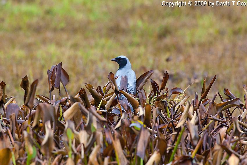 Black-faced Cuckoo-Shrike, Yuragir NP, NSW, Australia