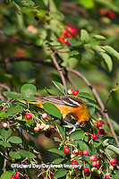 01611-08807 Baltimore Oriole (Icterus galbula) female eating berry in Serviceberry Bush (Amelanchier canadensis) Marion Co., IL