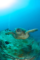 A grren sea turtle swimming over the st anthonys wreck in Maui, Hawaii.I was trying slow speed shooting underwater.This image came out perfect.