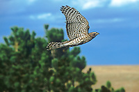 537410006 a young captive falconers northern goshawk accipiter gentilis in flight above dried grassland in central colorado
