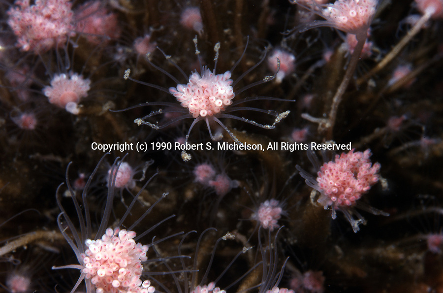Tubularian Hydroid colony