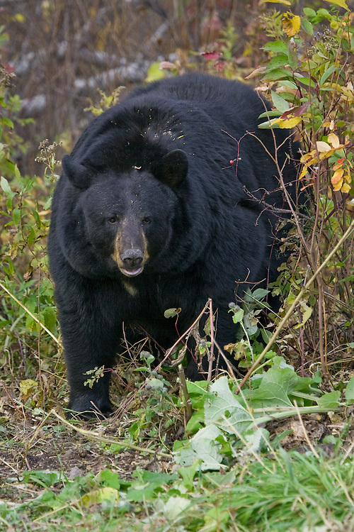 Large female Black Bear standing amongst some fall foliage