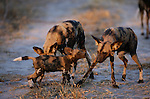 Even though the alpha male and female wild dog are the only ones in a pack to breed, most adults share the responsibility of protecting their pups and providing them with food.