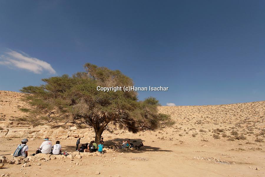 Israel, Acacia tree in the Negev desert