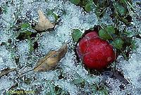 1I02-026z  Ice on fallen apple, leaves