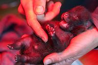 Marderhund, verwaistes Jungtier wird in menschlicher Obhut großgezogen, nach der Fütterung wird der Bauch und die Analregion massiert, Analmassage unter einer Wärmelampe, Rotlicht, Marder-Hund, Enok, Seefuchs, Tierbabies, Tierbabys, Tierbaby, Nyctereutes procyonoides, raccoon dog, Chien viverrin