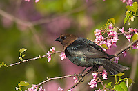 Male Brown-headed Cowbird (Molothrus ater) in redbud tree,  Great Lakes region.  Spring.