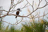 BELIZE, Hopkins, a Ringed Kingfisher sits on a branch looking for a meal