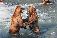 Brown bears defend fishing territory in the  Brooks River, Katmai National Park, southwest, Alaska.