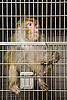 A male Rhesus monkey at the National Primate Research Center in Madison, Wisconsin. Photo by Kevin J. Miyazaki/Redux