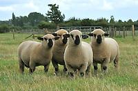 Hampshire Down shearling rams...Copyright..John Eveson, Dinkling Green Farm, Whitewell, Clitheroe, Lancashire. BB7 3BN.01995 61280. 07973 482705.j.r.eveson@btinternet.com.www.johneveson.com