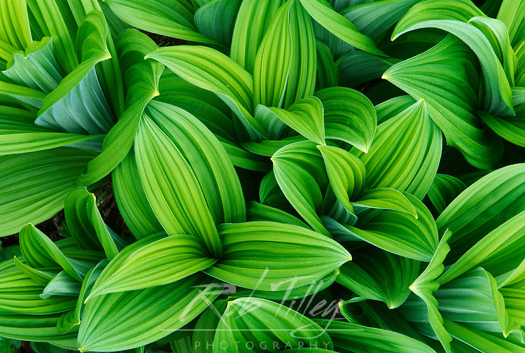 Corn Lily (False Hellebore), Mt. Rainier NP, WA, USA