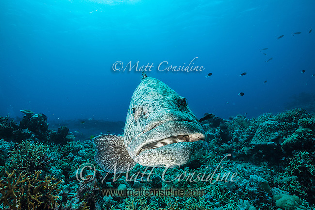 These giant cods are so large they could swallow a human head in one go. (Photo by Underwater Photographer Matt Considine)