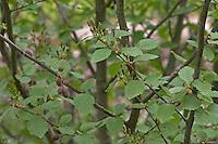 Grün-Erle, Grünerle, Erle, Alnus alnobetula, Alnus viridis, Green Alder, Aulne vert