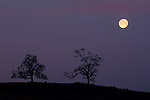 Full moon setting at dawn over oak tree in the foothills near Plymouth, Amador County, California