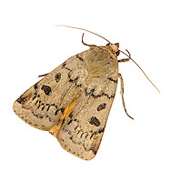 Lesser Yellow Underwing Noctua comes Length 23-25mm. An attractive moth that rests with wings held flat, one forewing overlapping the other. Adult has variably buffish-brown to grey-brown forewings, usually with two dark spots and faint pale cross lines. Hindwings are yellow with a narrow, black subterminal band and dark crescent mark. Larva feeds on a range of herbaceous plants. Widespread and common.