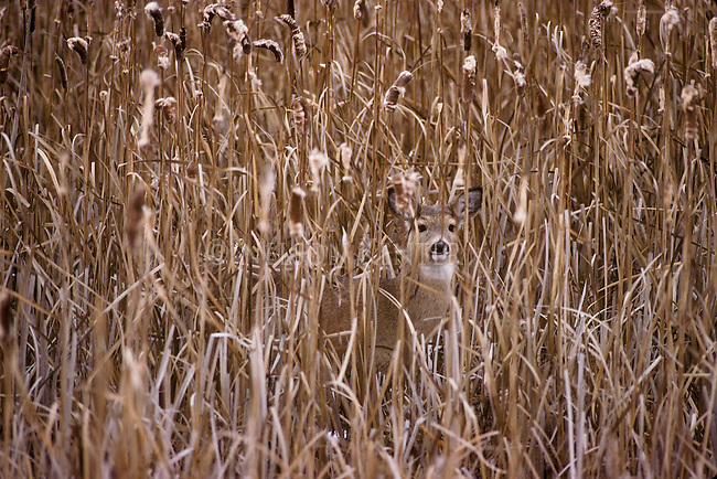 whitetail doe in a cattail marsh