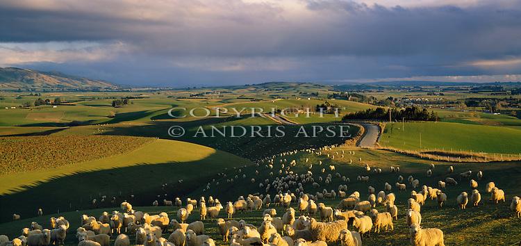 Farmland and sheep. Southland Region. New Zealand.