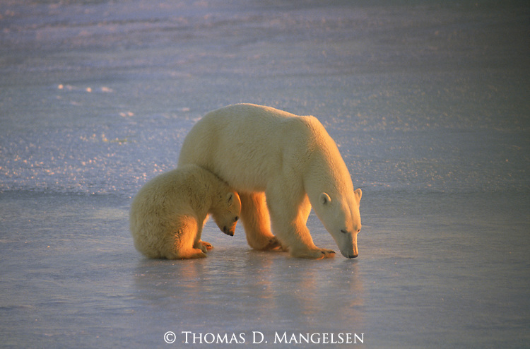 A cub of the year stays close to another young Polar Bear.