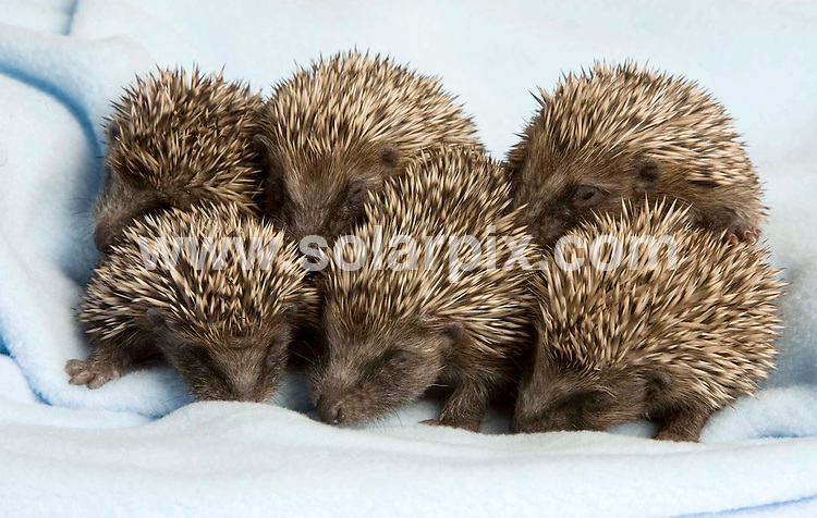 **ALL ROUND PICTURES FROM SOLARPIX.COM**.**NO UK NEWSPAPER PUBLICATION **UK MAGAZINE & SUPPLEMENT PUBLICATION ONLY** AND NO PUBLICATION IN FRANCE, SCANDINAVIA, AUSTRALIA AND GERMANY** .Late babies found safe and well .An unusual sight to see this time of year is baby hedgehogs. These autumn babies were discovered in Henley next to their dead mother by staff at St Tiggywinkles wildlife hospital. .Baby hogs are usually born up to the end of September so it was quite unusual to find this family of youngsters..They are currently being hand reared round the clock by a group of foster mothers at the hospital where they will live until they grow up enough to be released...JOB REF:7755-SFE       DATE:30-10-08 .**MUST CREDIT SOLARPIX.COM OR DOUBLE FEE WILL BE CHARGED* *UNDER NO CIRCUMSTANCES IS THIS IMAGE TO BE REPRODUCED FOR ANY ONLINE EDITION WITHOUT PRIOR PERMISSION*